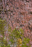 Σύσταση φλοιών δέντρων με το βρύο Στοκ Εικόνες