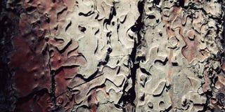 Σύσταση φλοιών δέντρων πεύκων κλείστε επάνω ηλικίας φωτογραφία Στοκ Φωτογραφίες