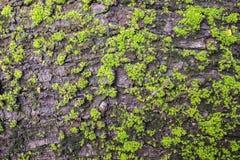 Σύσταση φλοιών δέντρων φλοιών Στοκ φωτογραφία με δικαίωμα ελεύθερης χρήσης