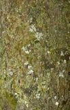 Σύσταση φλοιών δέντρων Στοκ Εικόνα