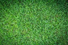 Σύσταση χλόης ή υπόβαθρο χλόης πράσινη χλόη για το σχέδιο έννοιας γηπέδων του γκολφ, γηπέδων ποδοσφαίρου ή αθλητικού υποβάθρου Στοκ εικόνα με δικαίωμα ελεύθερης χρήσης