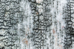 Σύσταση Birchbark Στοκ Εικόνες