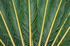 σύσταση palma φύλλων Στοκ φωτογραφία με δικαίωμα ελεύθερης χρήσης