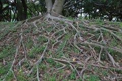 Σύστημα ρίζας ενός δέντρου Στοκ Εικόνες