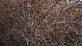 Σύλληψη κινηματογραφήσεων σε πρώτο πλάνο των συμπεπλεγμένων κλάδων δέντρων χωρίς φύλλα απόθεμα βίντεο