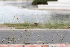 Σύλληψη πεταλούδων στα λουλούδια Στοκ Φωτογραφίες