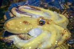 Σύλληψη πρωινού των ψαράδων στη Σικελία, ακατέργαστο φρέσκο χταπόδι στον πάγο ο Στοκ εικόνες με δικαίωμα ελεύθερης χρήσης