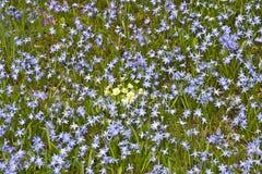 Τάπητας λουλουδιών των μπλε υάκινθων Chionodoxa αστεριών με κίτρινα primroses Primula στη μέση στοκ φωτογραφίες με δικαίωμα ελεύθερης χρήσης