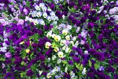 Τάπητας λουλουδιών των pansies Στοκ Εικόνες