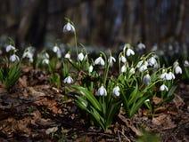 Τάπητας του δάσους plicatus Galanthus snowdrops την άνοιξη Στοκ Εικόνα