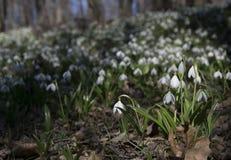 Τάπητας του δάσους plicatus Galanthus snowdrops την άνοιξη Στοκ Εικόνες