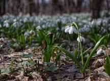 Τάπητας του δάσους plicatus Galanthus snowdrops την άνοιξη Στοκ εικόνες με δικαίωμα ελεύθερης χρήσης