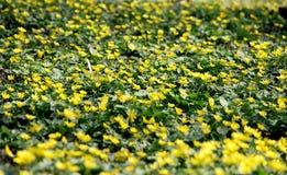 Τάπητας των κίτρινων λουλουδιών Στοκ εικόνα με δικαίωμα ελεύθερης χρήσης