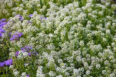Τάπητας των μικρών άσπρων ευωδών λουλουδιών - alissum Φωτεινή θερινή εικόνα του κήπου Η ανασκόπηση είναι θολωμένη Στοκ εικόνες με δικαίωμα ελεύθερης χρήσης