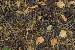Τάπητας φθινοπώρου στο κωνοφόρο ξύλο Στοκ Εικόνες