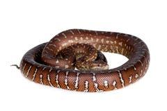 Τάπητας Centralian python στο λευκό Στοκ εικόνα με δικαίωμα ελεύθερης χρήσης