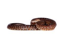 Τάπητας Centralian python στο λευκό Στοκ εικόνες με δικαίωμα ελεύθερης χρήσης