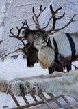 τάρανδοι Στοκ φωτογραφίες με δικαίωμα ελεύθερης χρήσης