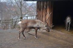 Τάρανδος στα πλαίσια ενός παλαιού ξύλινου σπιτιού στοκ φωτογραφία
