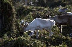 Τάρανδος στο πράσινο δάσος στοκ φωτογραφία με δικαίωμα ελεύθερης χρήσης