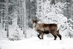 τάρανδος Στοκ εικόνες με δικαίωμα ελεύθερης χρήσης