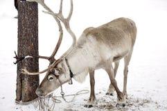 τάρανδος Στοκ φωτογραφίες με δικαίωμα ελεύθερης χρήσης
