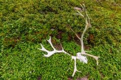 Τάρανδος scull και ελαφόκερες Στοκ φωτογραφίες με δικαίωμα ελεύθερης χρήσης