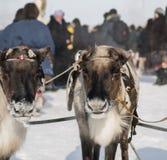 Τάρανδοι ζεύγους Στοκ εικόνες με δικαίωμα ελεύθερης χρήσης