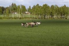 Τάρανδοι που τρώνε σε έναν τομέα Στοκ Φωτογραφία
