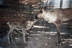 Τάρανδοι στο βοοειδές-υπόστεγο στοκ φωτογραφίες