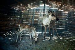 Τάρανδοι στο βοοειδές-υπόστεγο στοκ εικόνες με δικαίωμα ελεύθερης χρήσης