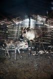 Τάρανδοι στο βοοειδές-υπόστεγο στοκ εικόνες