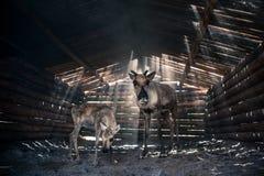 Τάρανδοι στο βοοειδές-υπόστεγο στοκ φωτογραφίες με δικαίωμα ελεύθερης χρήσης