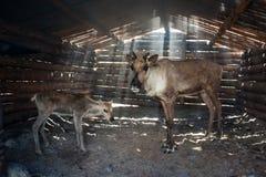 Τάρανδοι στο βοοειδές-υπόστεγο στοκ εικόνα με δικαίωμα ελεύθερης χρήσης