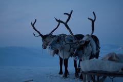 τάρανδοι Στοκ Φωτογραφίες