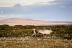 Τάρανδος ή caribou στη Σουηδία Στοκ Εικόνες