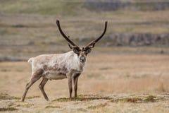 Τάρανδος, Ισλανδία Στοκ εικόνες με δικαίωμα ελεύθερης χρήσης