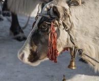 Τάρανδος στις διακοπές των herder Στοκ Φωτογραφία