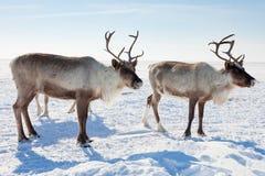 Τάρανδος χειμερινό tundra στοκ φωτογραφία με δικαίωμα ελεύθερης χρήσης