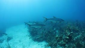 Τάρπον στην καραϊβική θάλασσα απόθεμα βίντεο