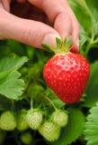 Τέλεια ώριμη φράουλα που μαδιέται στοκ φωτογραφία με δικαίωμα ελεύθερης χρήσης