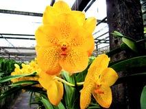 Τέλειο κίτρινο λουλούδι - Ταϊλάνδη Στοκ Εικόνες
