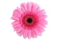 τέλειο ροζ gerbera Στοκ Φωτογραφίες