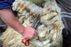 τέμνον δέρας από τα πρόβατα στοκ φωτογραφία με δικαίωμα ελεύθερης χρήσης