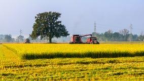 Τέμνον ρύζι Στοκ εικόνα με δικαίωμα ελεύθερης χρήσης