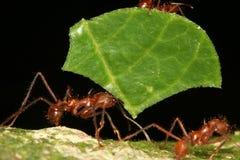 τέμνον φύλλο μυρμηγκιών στοκ εικόνες