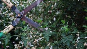 Τέμνων φράκτης ψαλίδων στον κήπο απόθεμα βίντεο