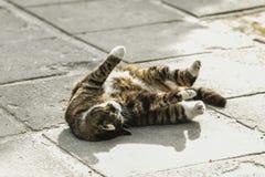 Τέντωμα γατών Στοκ Φωτογραφία