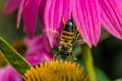 Τέντωμα μελισσών μεταξύ των λουλουδιών Στοκ Εικόνες