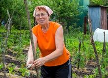 Τέντωμα trellis για να υποστηρίξει την αύξηση των εγκαταστάσεων κήπων στοκ εικόνες